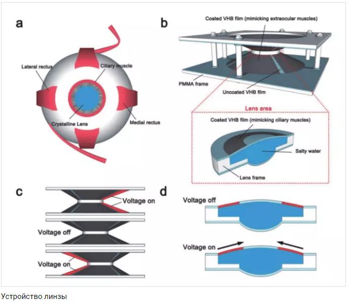 Учёные представили прототип биомимикрических линз. Они увеличивают масштаб, если дважды моргнуть [1]