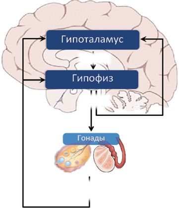 Особенности восстановления системы гипофиз-гонады у мужчин после использования андрогенных анаболических стероидов